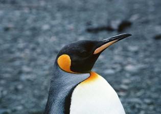 penguin06